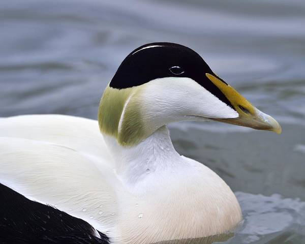 Photograph - Eider Up by Tony Beck
