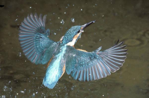 Alcedo Photograph - Eisvogel, Kingfisher by Fritz Polking - Vwpics