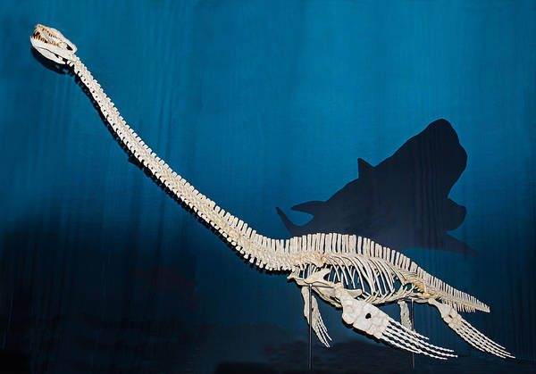 Photograph - Elasmosaurus by Millard H. Sharp