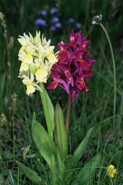 Elder Photograph - Elder-flower Orchid by Paul Harcourt Davies/science Photo Library