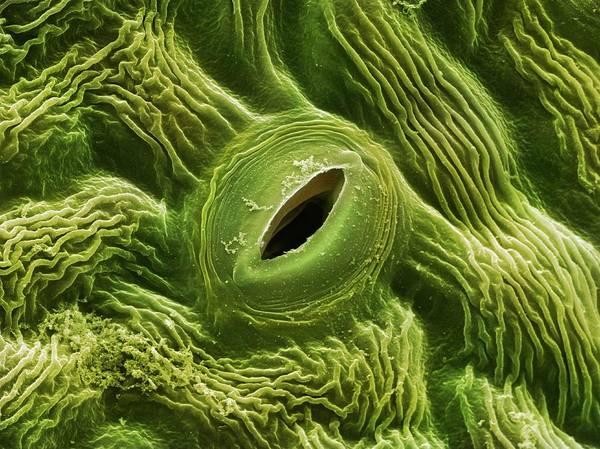 Elder Photograph - Elder Tree Leaf Stoma (sambucus Nigra) by Power And Syred