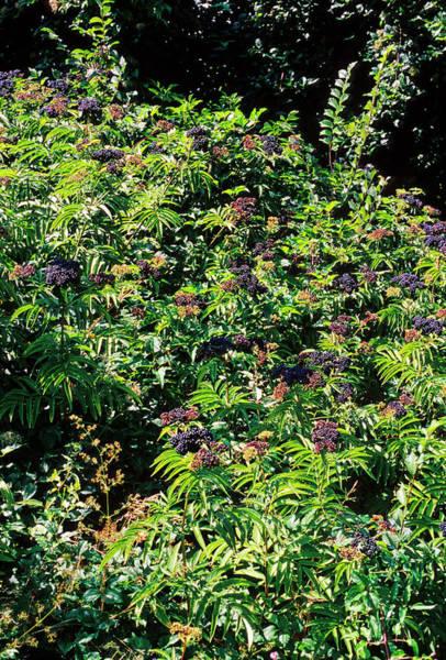Heal Photograph - Elderberry (sambucus Nigra) by Bruno Petriglia/science Photo Library