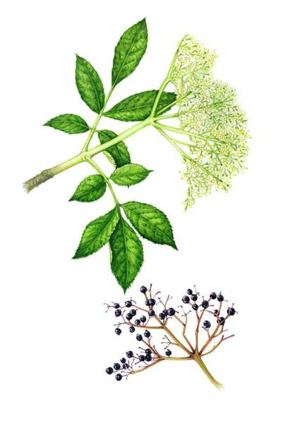 Wall Art - Photograph - Elderflowers (sambucus Nigra) And Berries by Lizzie Harper/science Photo Library