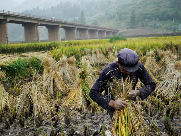 Chinese Clothing Wall Art - Photograph - Elderly Man Harvesting Rice Near Kunming by Amos Chapple