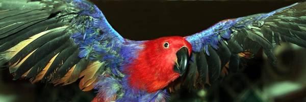 Eclectus Parrots Photograph - Electric Eclectus by Andrea Lazar