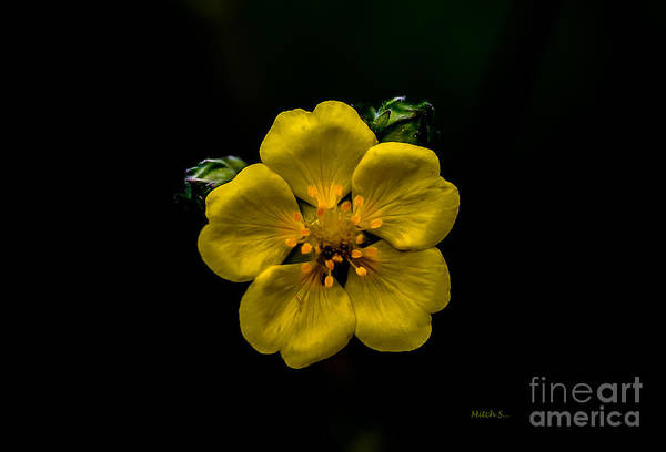 Cinquefoil Photograph - Electric Yellow by Mitch Shindelbower