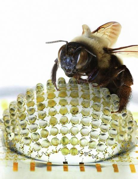 Biomimetics Wall Art - Photograph - Electronic Compound Eye With Bee by Professor John Rogers, University Of Illinois