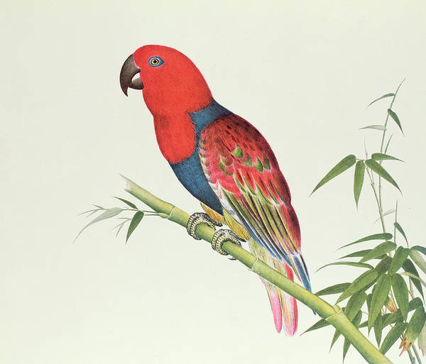 Ch Painting - Electus Parrot On A Bamboo Shoot by Chinese School