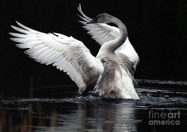 Cygnus Photograph - Elegance In Motion 2 by Sharon Talson