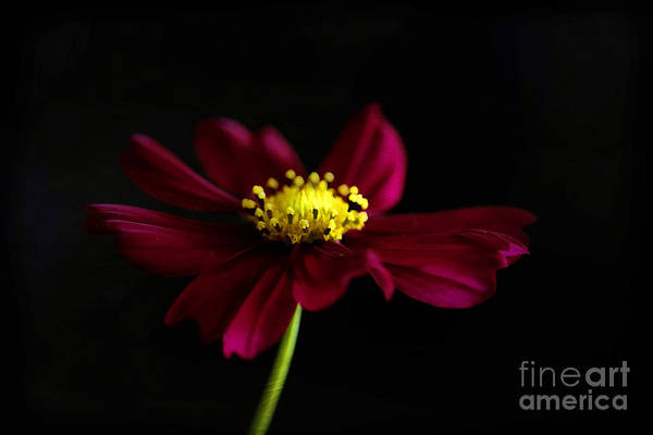 Fisher Center Photograph - Elegance Of A Cosmo by Darren Fisher