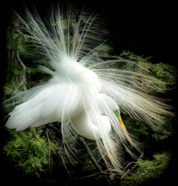 Egrets Wall Art - Photograph - Elegance Of Creation by Karen Wiles