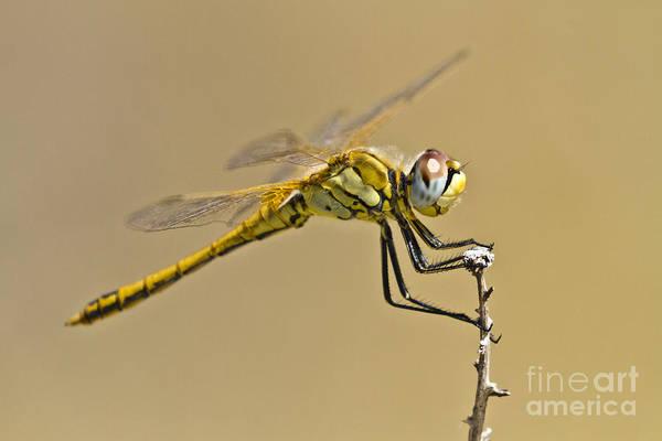 Photograph - Elegant Dragonfly by Heiko Koehrer-Wagner