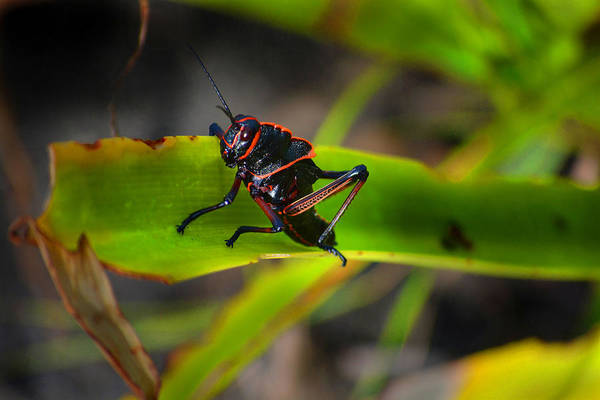 Tenebrionidae Wall Art - Photograph - Elegant Sylvan Katydid by Gary Keesler