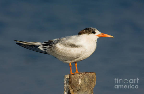 Elegant Tern Wall Art - Photograph - Elegant Tern Thalasseus Elegans by Anthony Mercieca