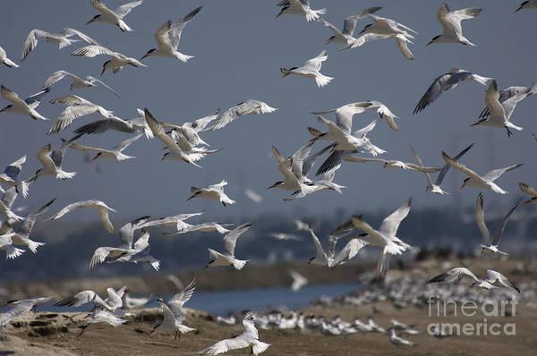 Elegant Tern Wall Art - Photograph - Elegant Terns by Anthony Mercieca