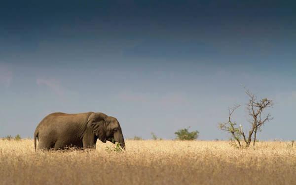 Savannah Photograph - Elephant Among Savannah Grass by Hein Von Horsten