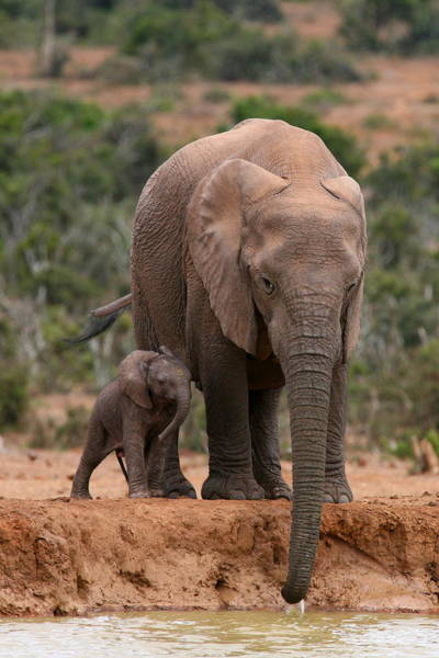 Wall Art - Photograph - Elephant And Calf At Waterhole by Bruce J Robinson