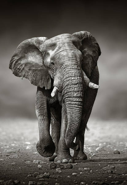 Monochrome Photograph - Elephant Approach From The Front by Johan Swanepoel