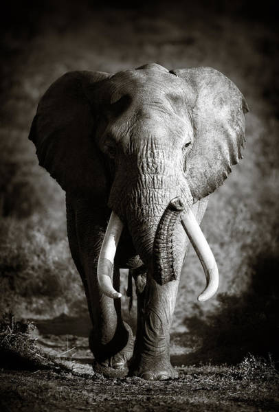 Front Wall Art - Photograph - Elephant Bull by Johan Swanepoel