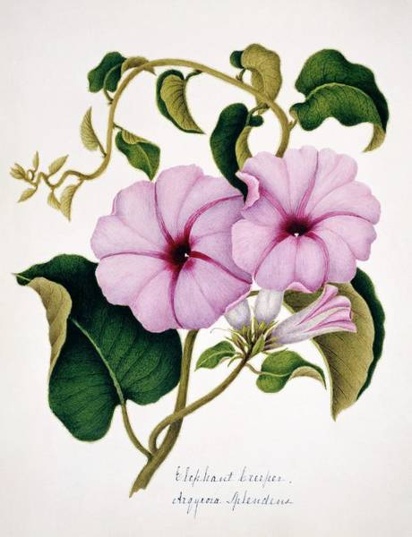 Wall Art - Photograph - Elephant Creeper Flowers by Natural History Museum, London/science Photo Library