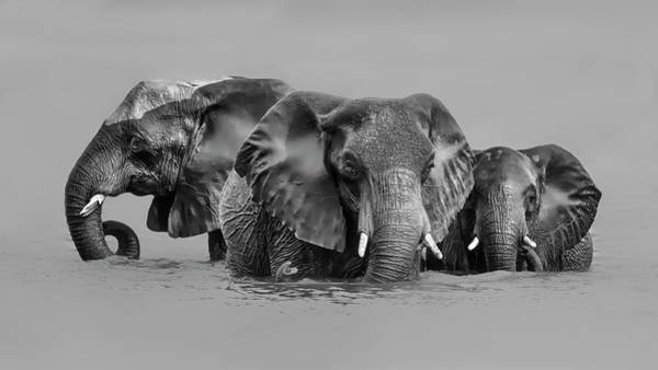 Wall Art - Photograph - Elephant Crossing The River by Jun Zuo
