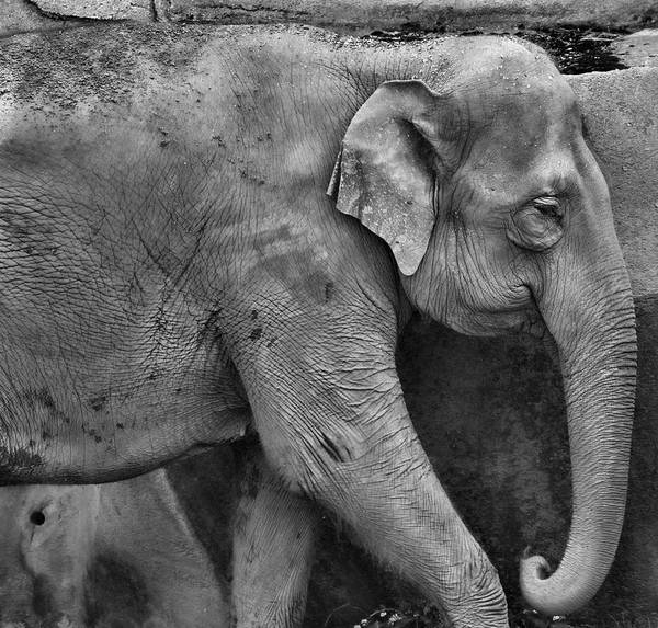 Photograph - Elephant Details by Dan Sproul