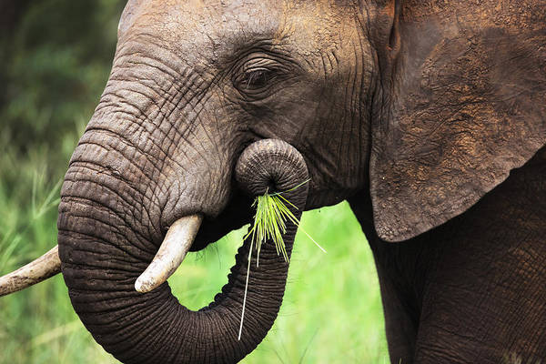 Green Grass Photograph - Elephant Eating Close-up by Johan Swanepoel