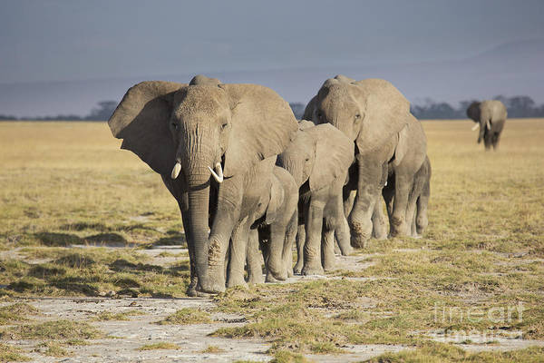 Amboseli Wall Art - Photograph - Elephant Herd  by Richard Garvey-Williams