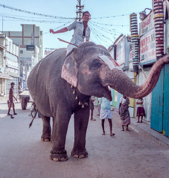 Photograph - Elephant In The Street In India by Pete Hendley