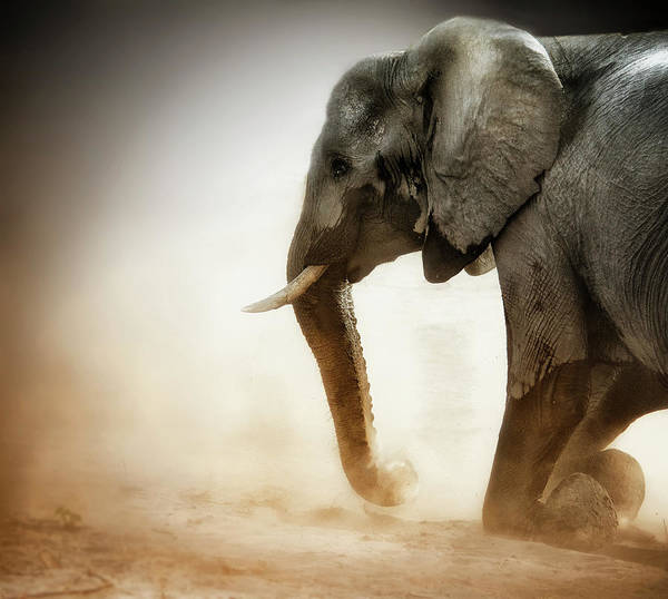 Botswana Photograph - Elephant Kneeling With Dust by Sheila Haddad