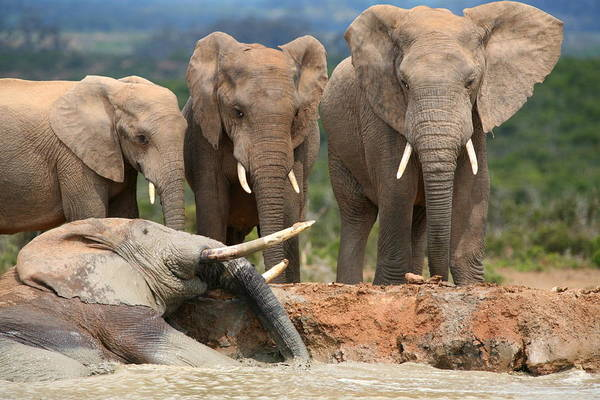 Wall Art - Photograph - Elephant Mudbath by Bruce J Robinson