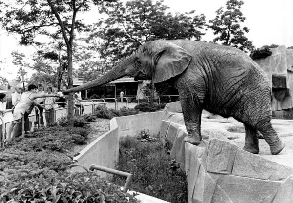 Reach Out Wall Art - Photograph - Elephant Reaches For Food by Retro Images Archive