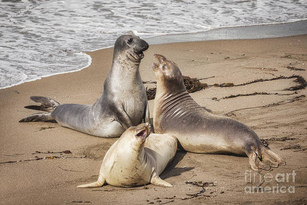 Blanca Wall Art - Photograph - Elephant Seals by Colin and Linda McKie