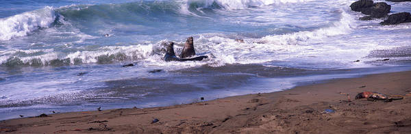 Cambria Photograph - Elephant Seals In The Sea, San Luis by Panoramic Images