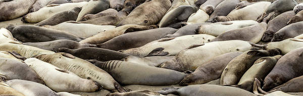 The Rookery Wall Art - Photograph - Elephant Seals On The Beach, Piedras by Panoramic Images