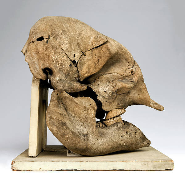 Preservation Photograph - Elephant Skull by Ucl, Grant Museum Of Zoology