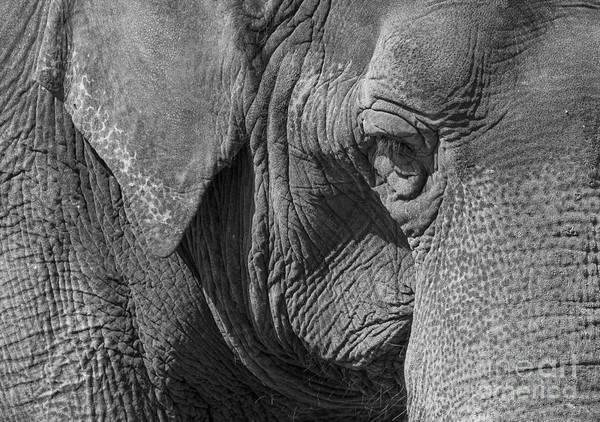 Photograph - Elephant by Steven Ralser