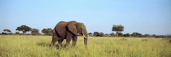 Wall Art - Photograph - Elephant Tarangire Tanzania Africa by Animal Images