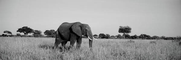 Tarangire Photograph - Elephant Tarangire Tanzania Africa by Panoramic Images