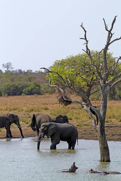 Hippo Photograph - Elephants And Hippos, Kruger National by Andrew Bain