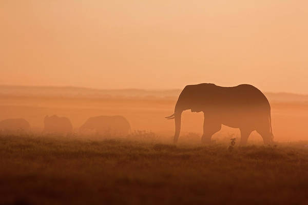 Contrasts Photograph - Elephants At Dawn by Wldavies