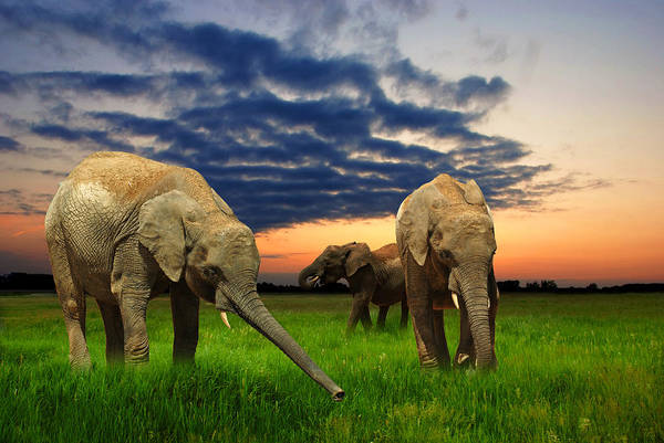 Wall Art - Photograph - Elephants At Sunset by Jaroslaw Grudzinski