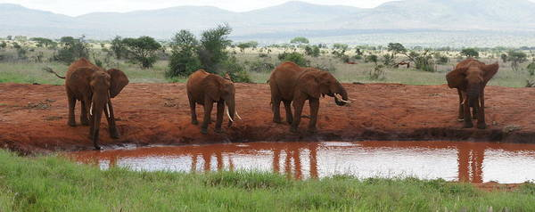 Photograph - Elephants by Olaf Christian