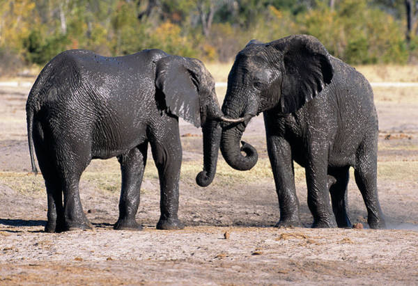 Wall Art - Photograph - Elephants Covered In Mud by Tony Camacho/science Photo Library