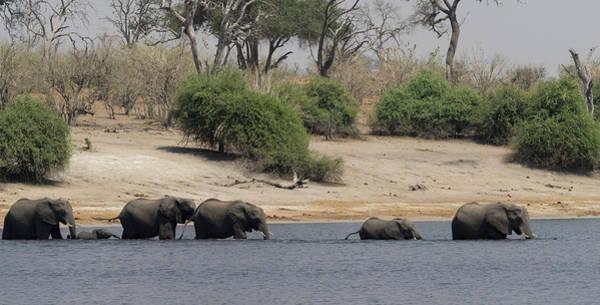 Chobe National Park Wall Art - Photograph - Elephants Crossing Chobe River, Chobe by Panoramic Images