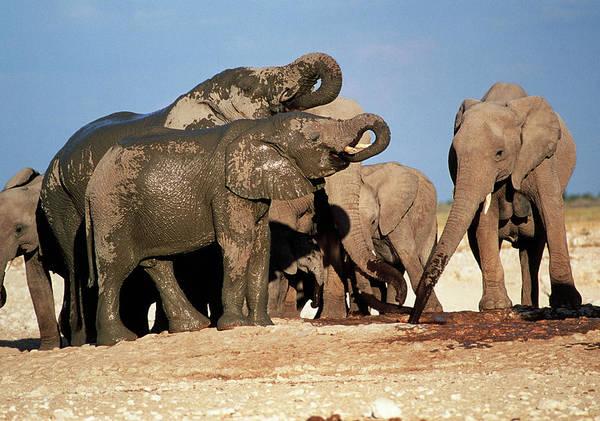 Africana Photograph - Elephants Drinking by Tony Camacho/science Photo Library