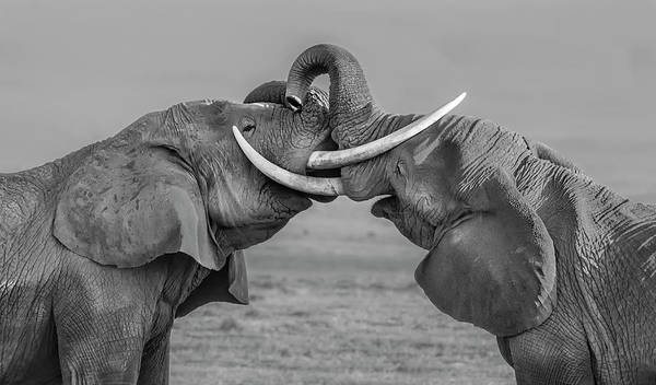 Dueling Wall Art - Photograph - Elephants Fighting by Yun Wang