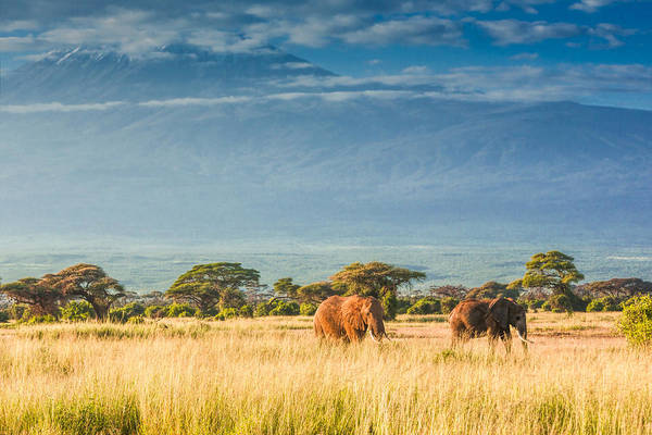Grazing Photograph - Elephants In Front Of Mount Kilimanjaro by 1001slide