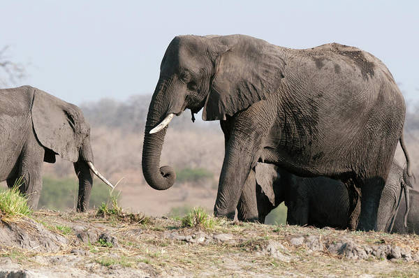 Chobe National Park Wall Art - Photograph - Elephants (loxodonta Africana by Sergio Pitamitz