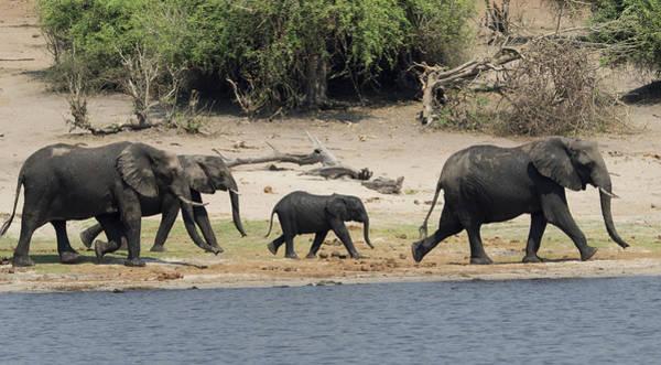 Chobe National Park Wall Art - Photograph - Elephants Walking Along Edge Of Chobe by Panoramic Images